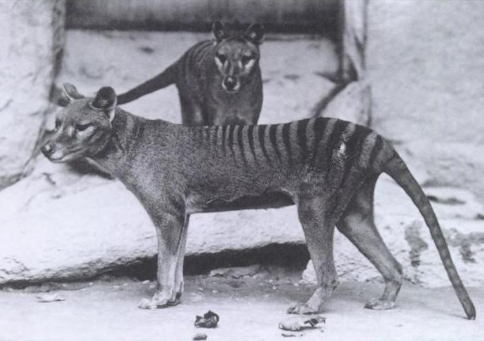How did The Tasmanian Tiger become extinct